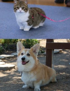 cat version of corgi